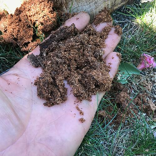 Carpenter Ant Frass image