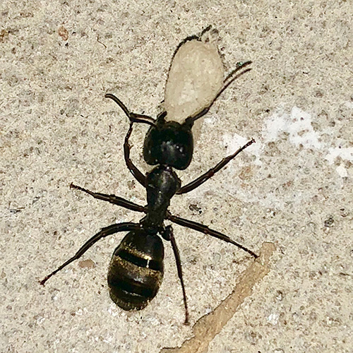 Adult Carpenter Ant and egg