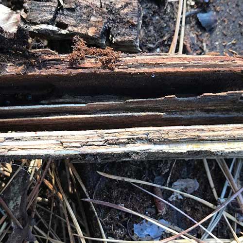 Carpenter Ant chamber nest image