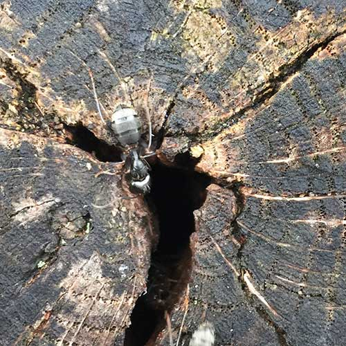 Carpenter ant log entry image