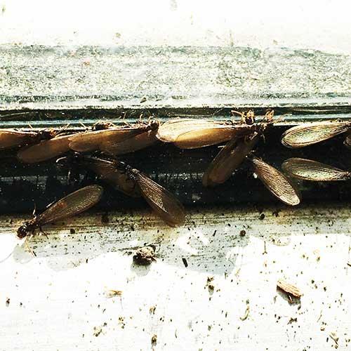 Pile of termite swarmers