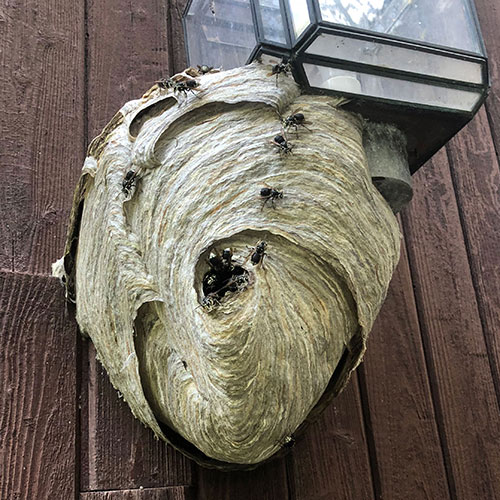 Bald-Faced Hornets and nest on a light