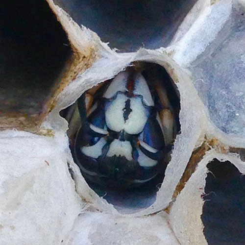 Bald-Faced Hornets up close image