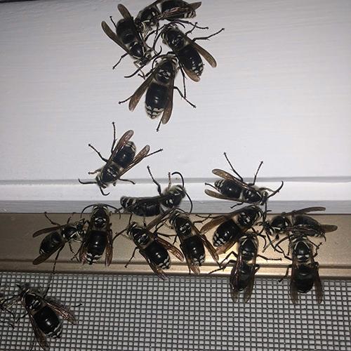 Bald-Faced Hornets Inside a house image
