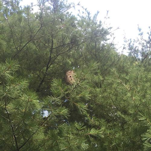 A very high Bald-Faced Hornet nest image