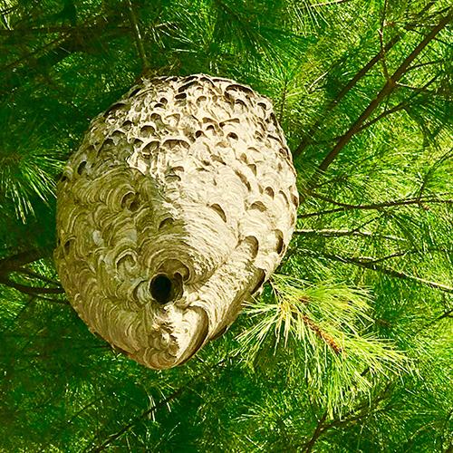 Bald-Faced Hornet Nest Image