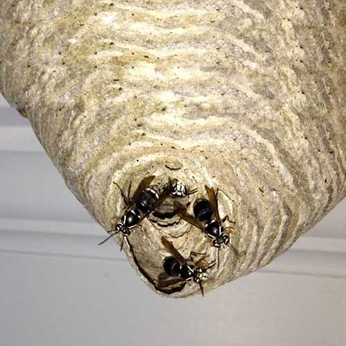 Bald-Faced Hornet hive image