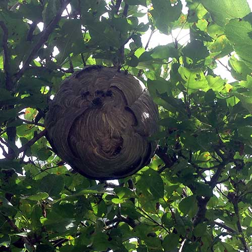 Bald-Faced Hornets hive in a tree image