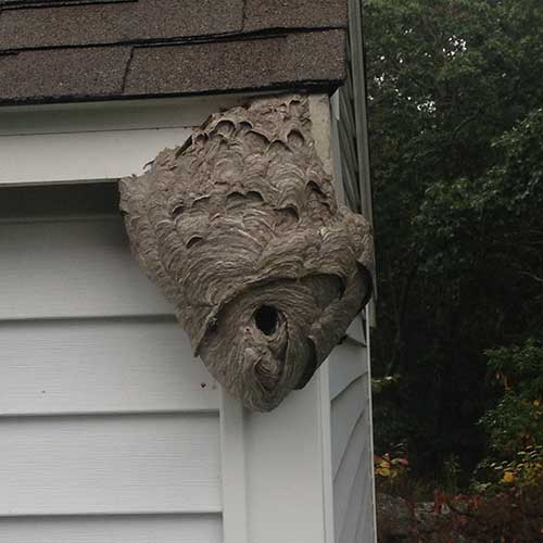 Bald-Faced Hornets on a shed nest image