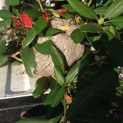 Bald-Faced Hornet nest removed from bush image