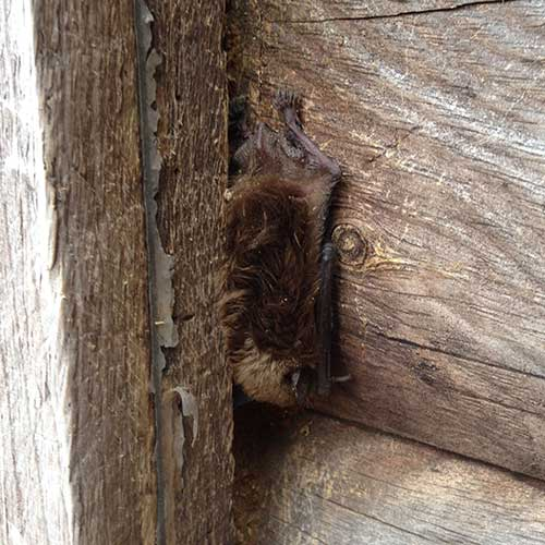a brown bat image