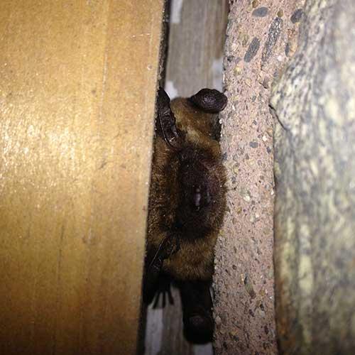 Brown Bat roosting