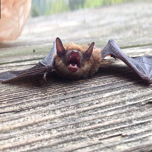 Bat teeth image
