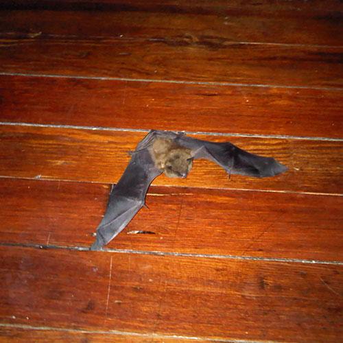 Bat Brown Bat inside house