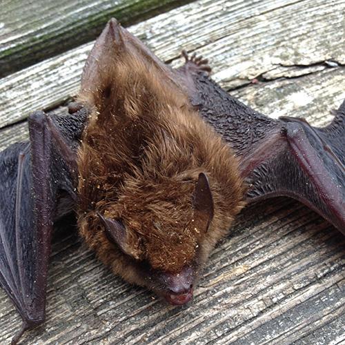 Brown Bat images
