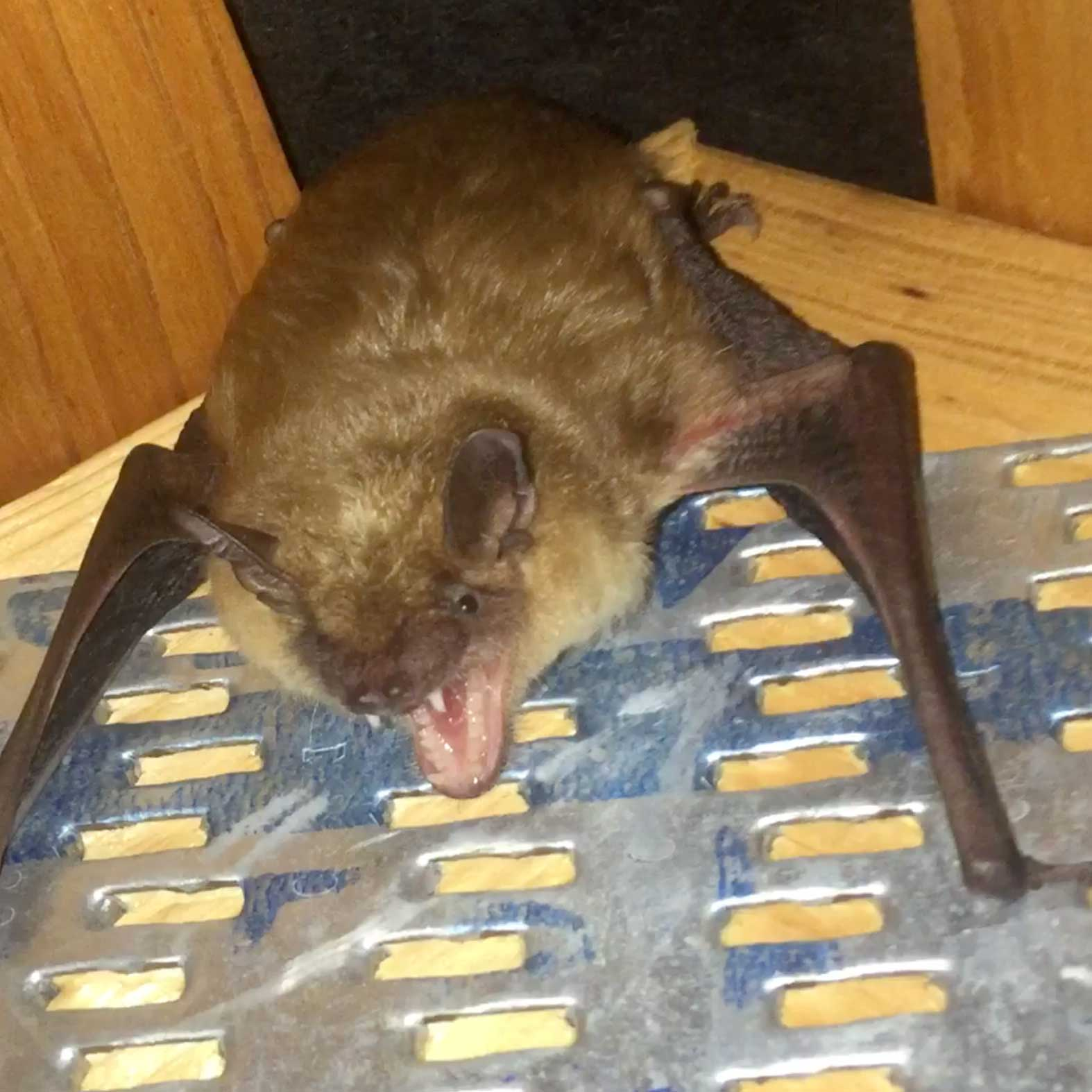 A big brown bat in an attic image