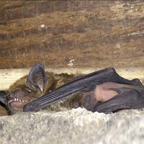 A mother bat nursing her pup
