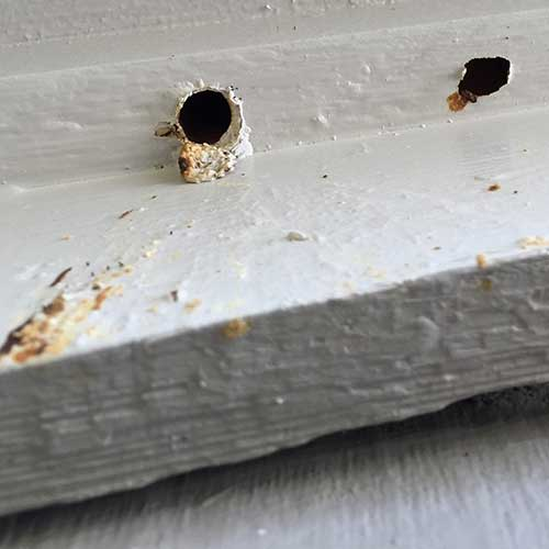Carpenter Bee Holes on a painted surface