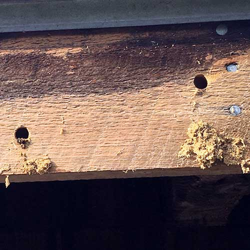 Carpenter Bee image of holes and sawdust