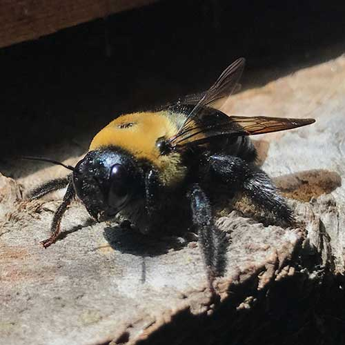Male Carpenter Bee Image