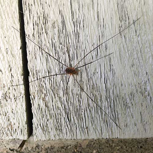 Daddy Long Legs Spider picture