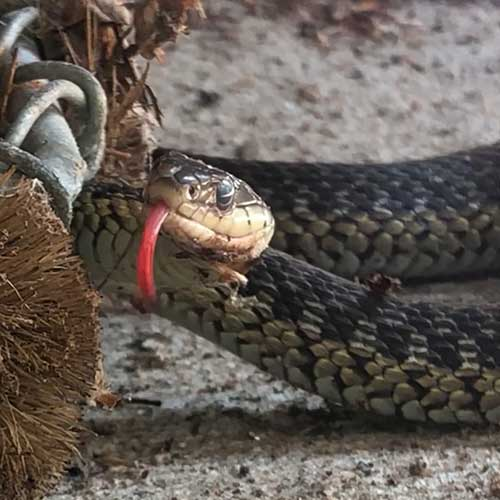 A snake smelling with tongue