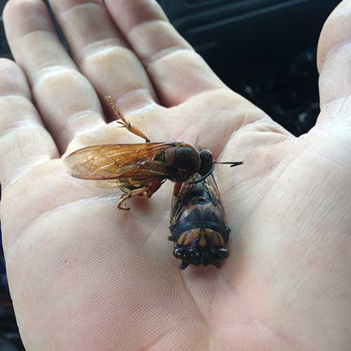 A Cicada Killer Image with a cicada as prey