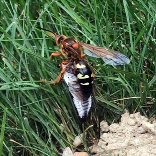 A cicada stung by a cicada killer