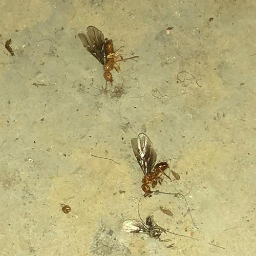 light colored ant swarmers