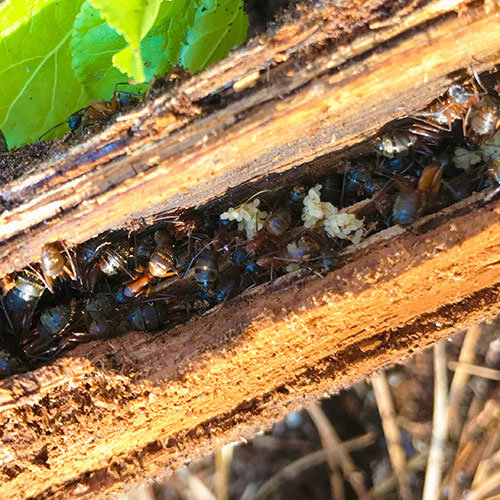 red carpenter ants in a log