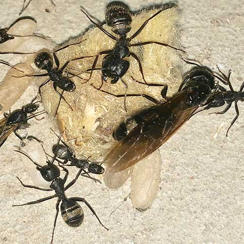 carpenter ant stages of life