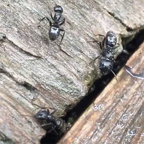 carpenter ants destroying deck