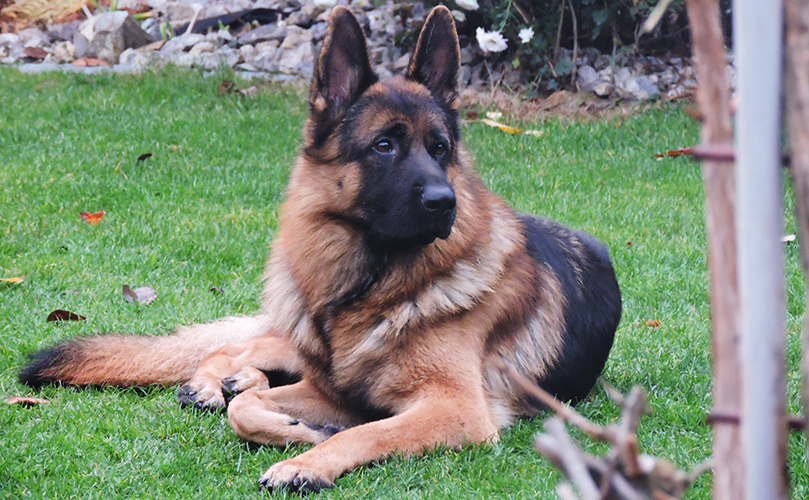Protection Dogs By Cpi For Sale German Shepherd Puppies