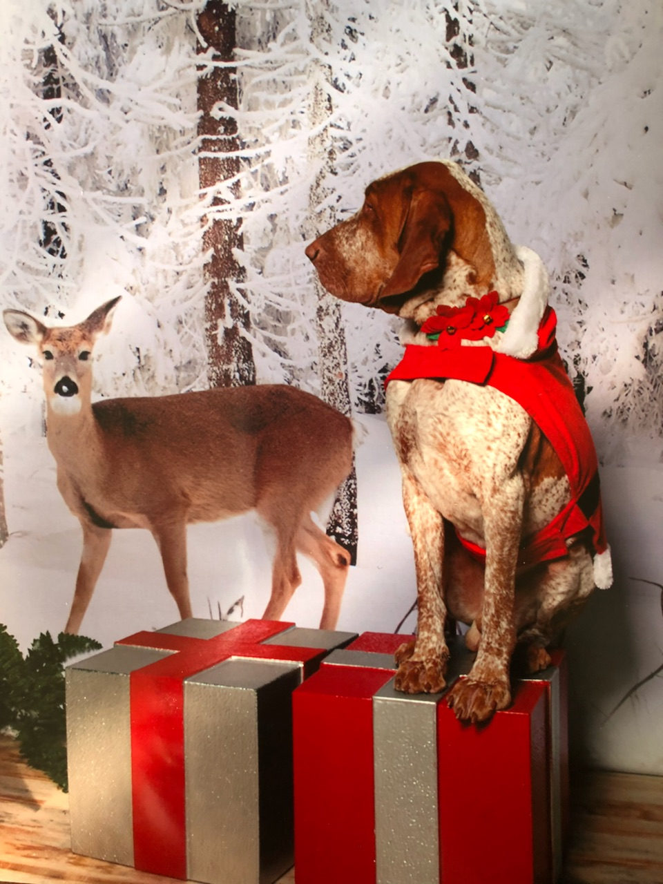 photo of a brown speckled large dog standing on present boxes with a deer snowy wooded background