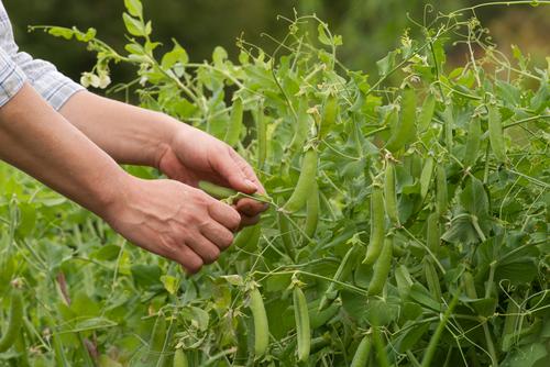 picking sweet peas