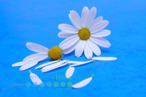 Photo of a daisy with most petals gone and another intact daisy