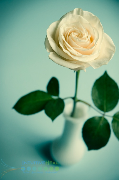 Photo of white rose in a vase