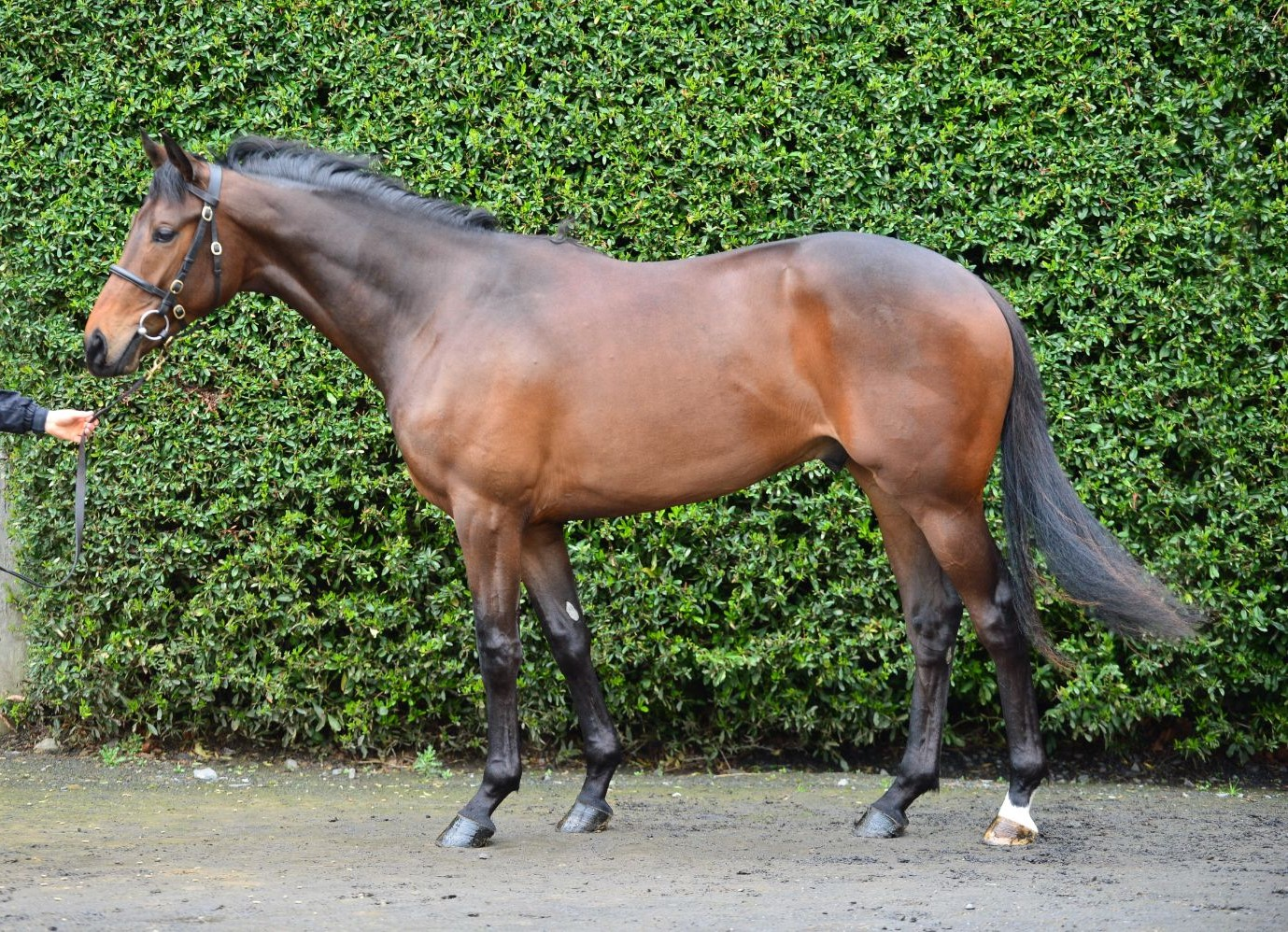 Lot 28 Dark Angel ex Jakonda
