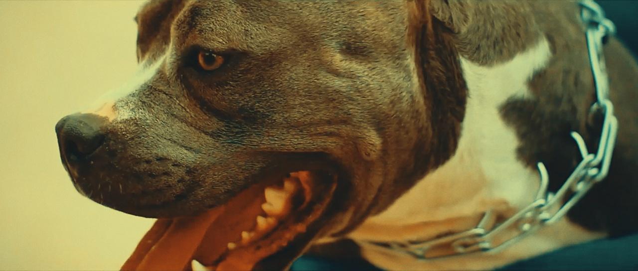 close up of a pitbull dog