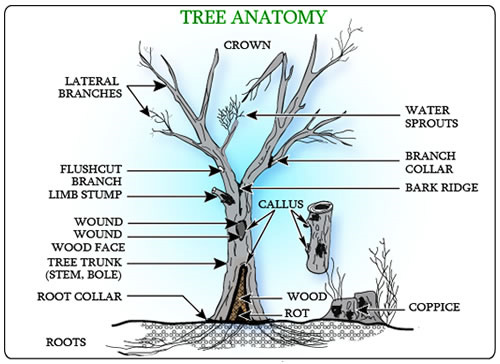 tree anatomy