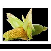 Plantio de Milho
