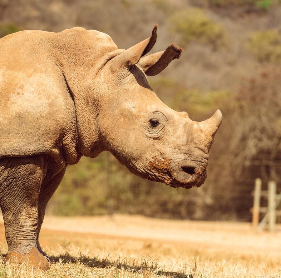 Wild baby rhino