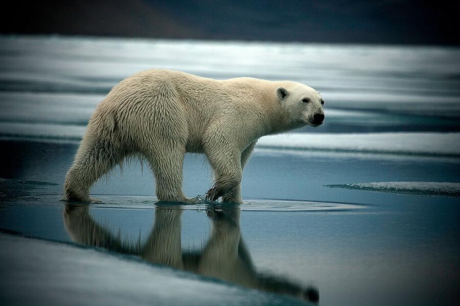 Polar Bear Antarctica