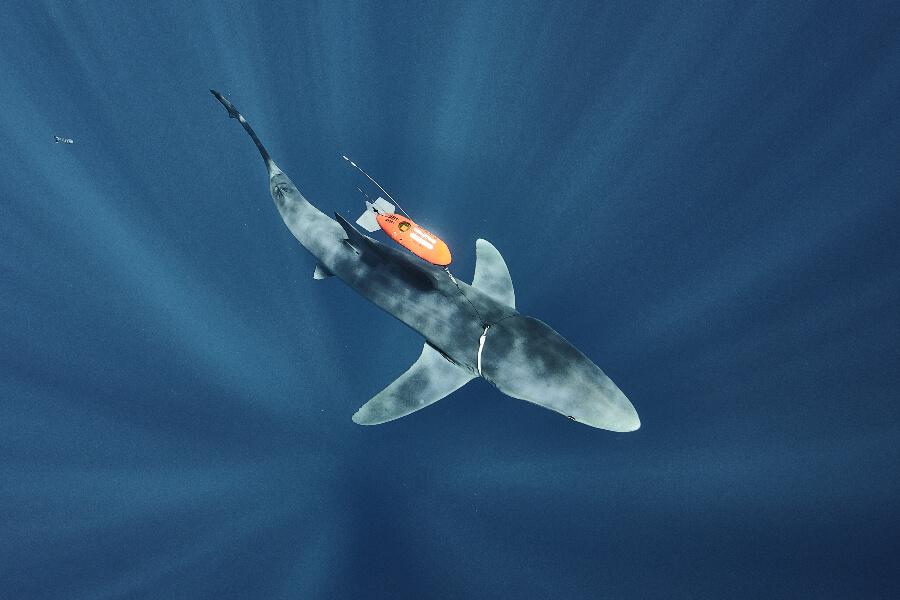 Sharks Tagging