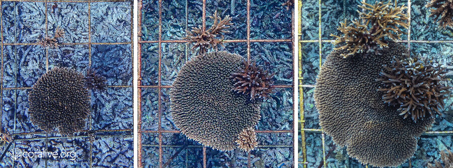 Coral Restoration In Fregate, Blancpain - Coralive