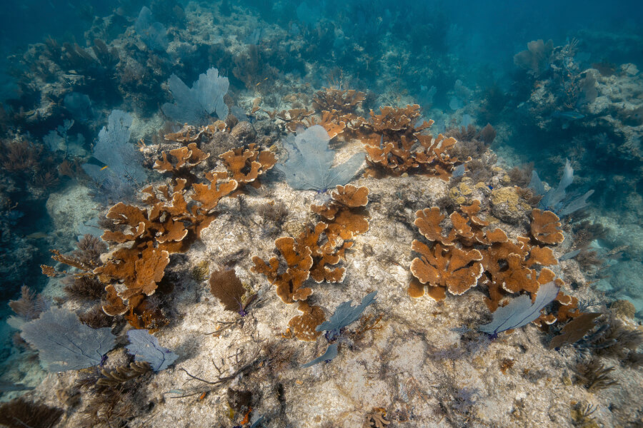 Young corals outplanted by the foundation are now helping to restore Carysfort Reef