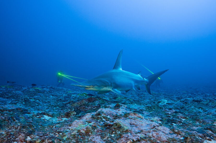 Great hammerhead shark - Thomas Pavy
