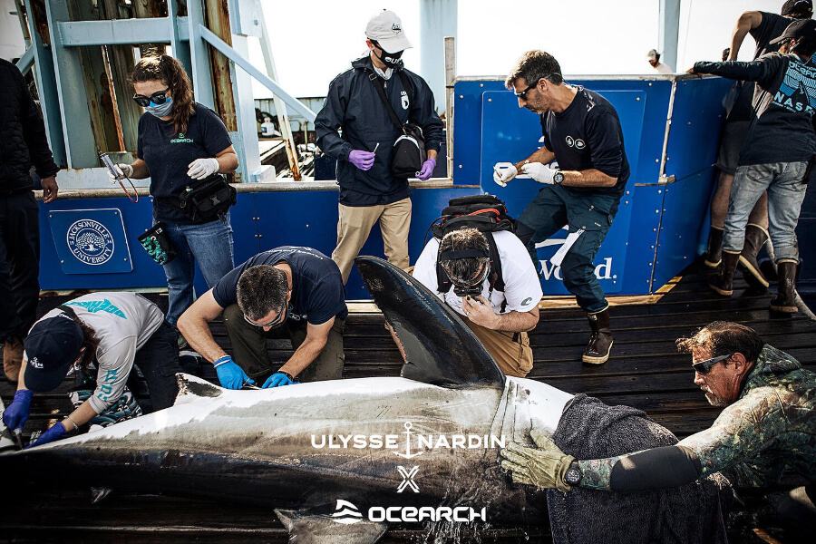 Ulysse Nardin Announces A New Friend Of The Brand: Andromache, A Young Female White Shark!