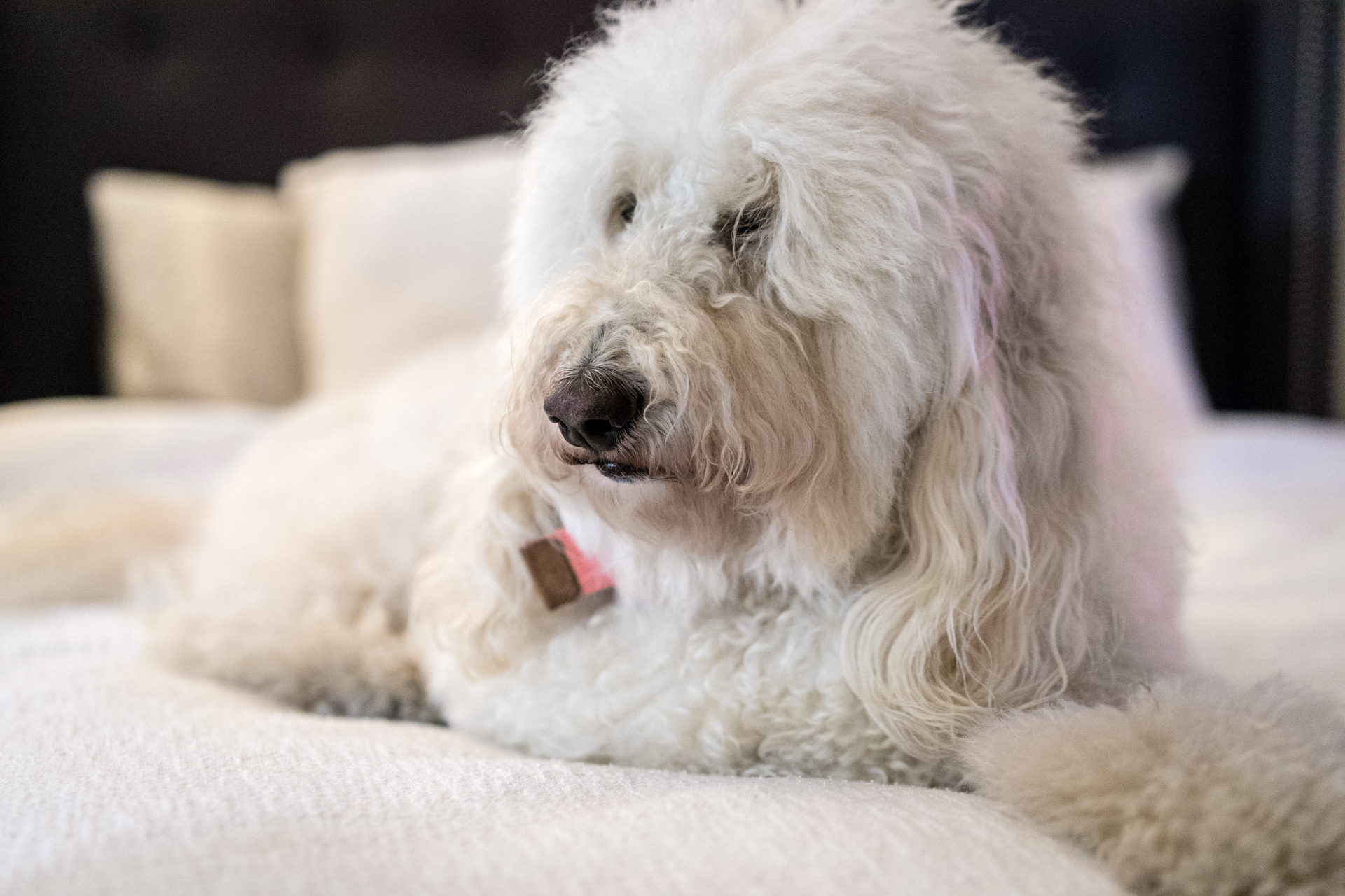 White Labradoodle Pet Photo