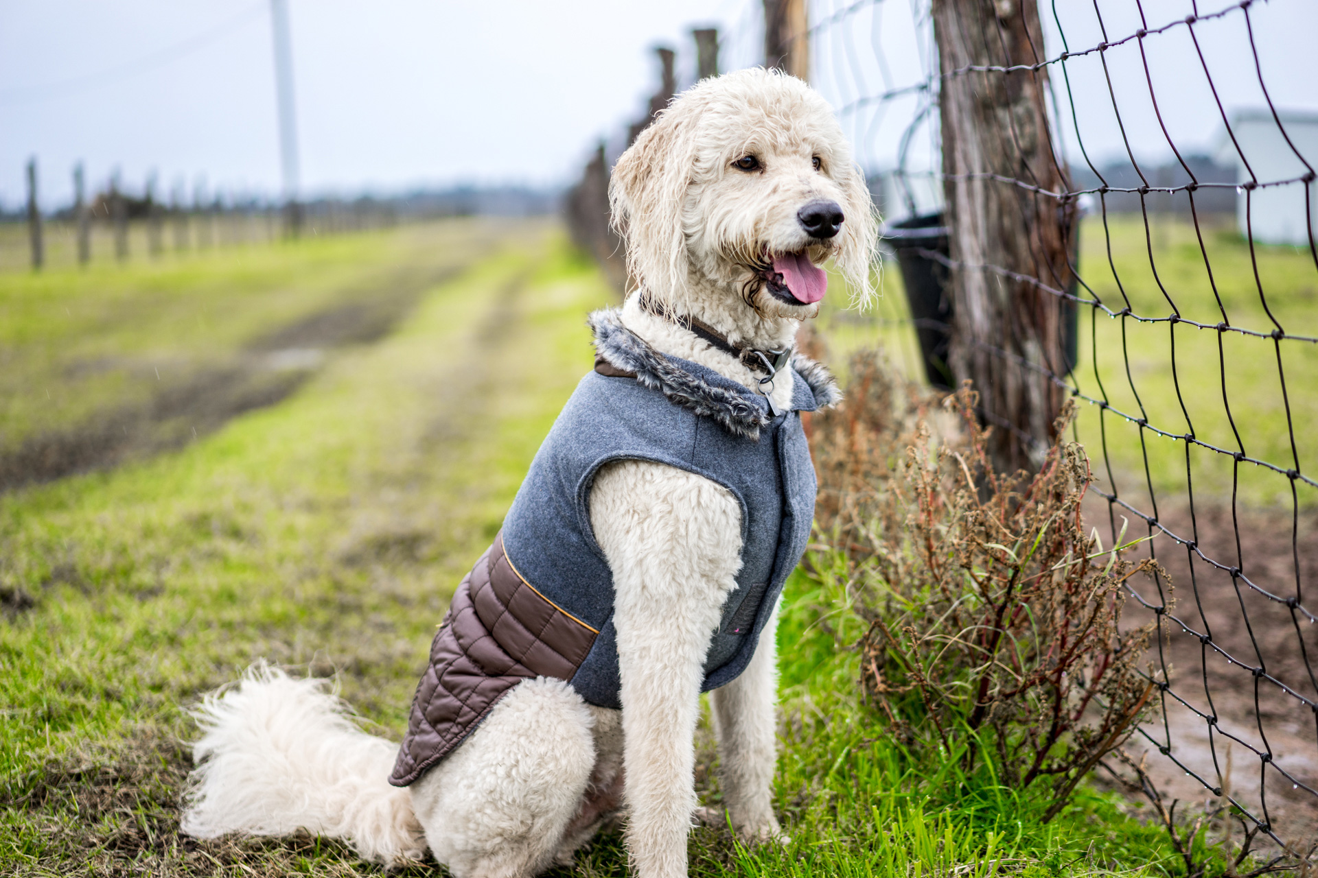 Pet Dog in Vest Portrait on Farm